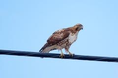 红被盯梢的鹰(鵟鸟jamaicensis) 库存图片