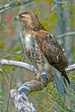 红被盯梢的鹰 免版税库存照片