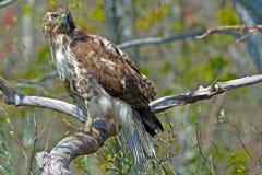 红被盯梢的鹰 免版税图库摄影