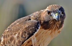 红被盯梢的鹰 库存图片