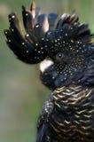 红被盯梢的黑美冠鹦鹉 库存图片