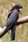 红被盯梢的黑美冠鹦鹉 免版税库存照片