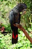 红被盯梢的黑Cackatoo 库存图片