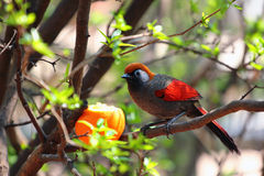 红被盯梢的laughingthrush (Trochalopteron milnei) 免版税库存图片