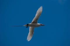 红被盯梢的Tropicbird 免版税库存图片