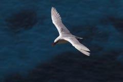 红被盯梢的Tropicbird 2 免版税库存照片