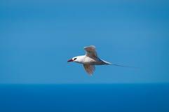 红被盯梢的Tropicbird & x28; 敞蓬旅游车rubricaudra& x29;在飞行中 免版税库存照片