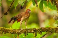 红褐色带头的Chachalaca 图库摄影
