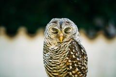 红褐色有腿的猫头鹰,猫头鹰类Rufipes,是一头中型猫头鹰与 免版税图库摄影