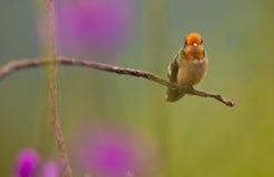 红褐色有顶饰蜂鸟 库存图片