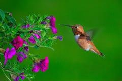 红褐色母的蜂鸟 库存照片