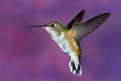 红褐色母的蜂鸟 免版税库存图片