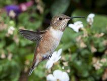 红褐色母的蜂鸟 库存图片
