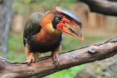 红褐色犀鸟 免版税库存图片