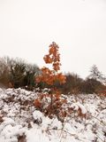 红褐色的死的树生叶与雪aroun的冬天秋天12月 免版税库存图片