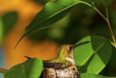 红褐色的蜂鸟 免版税库存照片