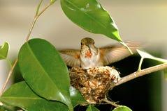 红褐色的蜂鸟 库存照片