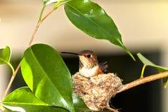红褐色的蜂鸟 库存图片