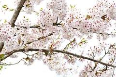 红褐色蜂鸟喝从花的花蜜,当盘旋时 免版税图库摄影