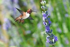 红褐色蜂鸟在飞行中与淡紫色花 免版税库存图片