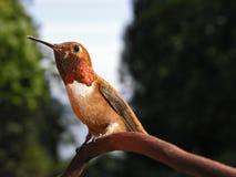 红褐色蜂鸟的男 免版税库存图片