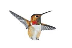 红褐色蜂鸟的男 库存图片