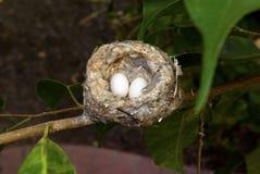 红褐色蜂鸟鸡蛋 免版税库存照片