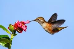 红褐色蜂鸟(Selasphorus rufus) 库存照片