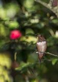 红褐色蜂鸟(Selasphorus rufus) 免版税图库摄影