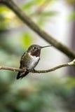 红褐色蜂鸟(Selasphorus rufus) 库存图片