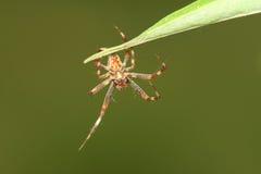 红褐色蜘蛛 免版税库存照片