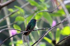 红褐色被盯梢的蜂鸟在哥斯达黎加 免版税库存照片
