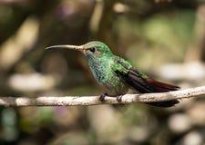 红褐色被盯梢的蜂鸟,巴拿马画象  库存图片