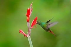 红褐色被盯梢的蜂鸟, Amazilia tzacatl,在美丽的红色花旁边的鸟猛冲在自然生态环境,明白绿色背景, b 免版税库存照片
