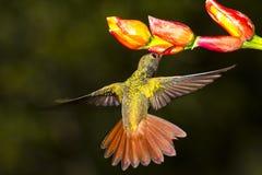 红褐色被盯梢的蜂鸟,nectaring Amazilia的tzacatl 库存照片