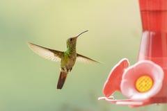 红褐色被盯梢的蜂鸟 免版税库存图片