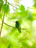 红褐色被盯梢的蜂鸟(Amazilia tzacatl)在增殖比栖息 免版税库存图片