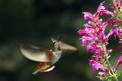 红褐色飞行的蜂鸟 库存图片