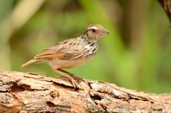 红褐色飞过的bushlark 免版税库存照片