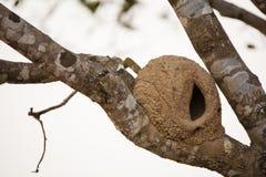 红褐色Hornero巢 库存照片
