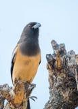 红褐色treepie鸟 免版税库存图片