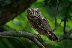 红角鹗, Otus scops,小猫头鹰在自然栖所,坐绿色云杉的树枝,森林在背景中, 库存照片