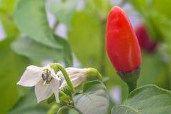 红辣椒和花与绿色叶子 免版税库存照片