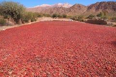 红辣椒在阿根廷太阳被烘干 免版税图库摄影