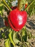 红辣椒,人口自然增长 库存照片