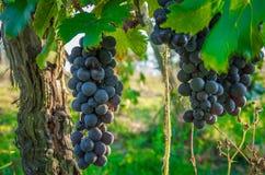 红酒葡萄分支生长在意大利领域的 新鲜的红酒葡萄接近的看法在意大利 与大红色的葡萄园视图 库存照片