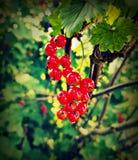红醋栗在庭院里 库存照片
