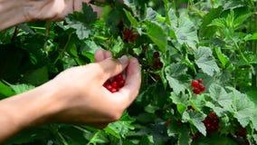 红醋栗汇集 收集成熟红浆果莓果 股票录像