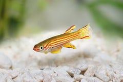 红镶边锵鱼男性Aphyosemion striatum热带水族馆鱼 库存照片