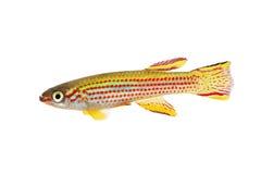 红镶边锵鱼男性Aphyosemion striatum热带水族馆鱼 免版税图库摄影